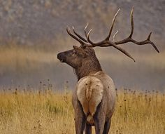 AUTUMN ELK RUT IN YELLOWSTONE -- Learn where and when to travel for great global hotspots, perfect for travelers, photographers, and families, who love wildlife viewing and unique nature events at http://www.examiner.com/article/great-global-hotspots-for-wildlife-travelers-and-photographers