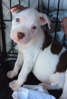 Jill Pit Bull Terrier • Baby • Female • Medium Secondhand Snoots Rescue, NFP Gurnee, IL