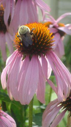 coneflower & bee