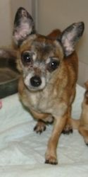 Axel CJ is an adoptable Chihuahua Dog in Providence, RI. Adoption donation $399 � � �� �� � AGE: 3 Years - 7 Months � � WEIGHT: ��8.4 lbs � Up to date on all vaccinations and has been fixed. Axel is a...
