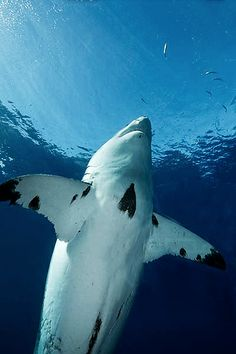 Great White Shark (Carcharodon carcharias) swims up towards the surface.