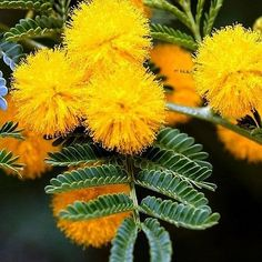 Acacia Baileyana , commonly known as Cootamundra Wattle or Golden Mimosa , is a shrub or tree in the legume family. The scientific name of the species honors the botanist Frederick Manson Bailey . It