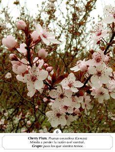 Cherry plum / los q temen perder la cordura por sus pensamientos atroces. Tienen miedo de dañar los otros a causa de un descontrol Bach Flowers, Prunus, Blossom Trees, Health, Cherry, Medicinal Plants, Herbs, Nymphs, Health Care
