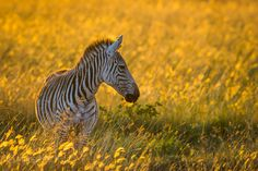 So, auf vielfachen Wunsch. Heute mal kein totes Zebra ;-)  Wie immer: Masai Mara.   Kenia.    Weitere wunderschöne Bilder als Poster oder Leinwand gibt es hier: www.shop.ingogerlach.de