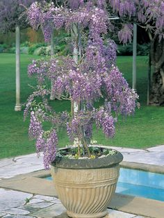 25 How to Grow Wisteria in a Pot wonderfulbackyard. 25 How to Grow Wisteria in a Pot wonder. Potted Plants Patio, Fake Plants, Outdoor Plants, House Plants, Growing Flowers, Planting Flowers, Wisteria Plant, Large Garden Pots, Plantar