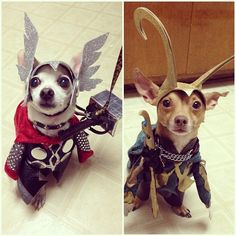 So my friend dressed up her dogs as Thor and Loki. #funny #humor More funny pics at http://lolblock.com