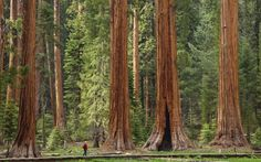 Sequoia National Park   Teamed with its neighbour, Kings Canyon National Park, Sequoia National Park is part of Sierra Nevada's project to protect North America's most famous trees – giant sequoias. The largest tree of all, the General Sherman tree, is here, too. The vast majority of the park is roadless wilderness, and represents a time before the first Europeans arrived in America.