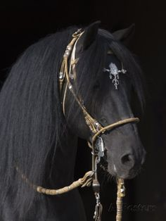Black Peruvian Paso Fino Stallion in traditional bridle. Most Beautiful Animals, Beautiful Horses, Beautiful Creatures, Black Horses, Wild Horses, Horse Photos, Horse Pictures, Campolina, All About Horses