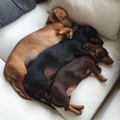 37 super Ideas dogs and puppies funny dachshund Dachshund Funny, Dachshund Puppies, Dogs And Puppies, Dog Tumblr, Cute Dog Pictures, Puppy Breeds, Cartoon Dog, Dog Paws, Doge