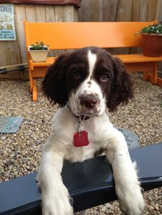 Springer Spaniel Puppy-looks SO much like Tucker!