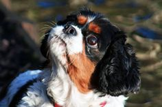 king charles spaniel - A king charles spaniel looking up for food