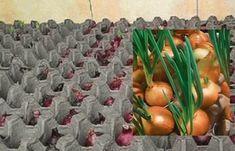 postup: Nalijte do nádoby vodu a umístěte do ní kartonové obaly na vejce. Jak nádoba může posloužit pekáč nebo plastové obaly od vajec. Sazenice cibule ošetřete v teplé vodě. Voda by měla mít teplotu zhruba 40 °C a sazenice byste v ní měli nechat asi 10 minut. Pak je vložte do kartonového obalu na vejce. … Hydroponics, Trees To Plant, Vegetable Garden, Gardening Tips, Diy Home Decor, Fruit, Vegetables, Nature, Feng Shui
