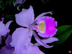 Orchid: Cattleya trianaei - Origin: Colombia - Flickr - Photo Sharing!