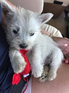 This is Jolie. - from Florida Westie Puppies, Westies, Cute Puppies, Scottie Dogs, West Highland Terrier, White Terrier, White Dogs, Cairns, Corgis