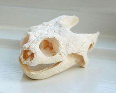 Snapping Turtle Skull Photograph - Smile Snapping Turtle Skull - Wall Decor - Animal Skull - Bones Art - Jaw - Wildlife Skull -Turtle Skull