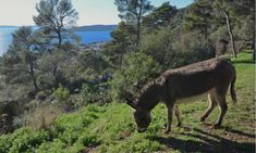 A Sanctuary for the Lovable and Threatened Donkeys of Split, Croatia  #Croatia #donkey