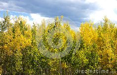 Photo about A small grove of young aspens turn their brilliant yellow color shedding their green summer color. Image of horizon, high, looking - 79530990 Summer Colors, Aspen, Autumn, Stock Photos, Yellow, Nature, Plants, Outdoor, Image