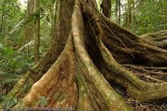 AUSTRALIA, Queensland, Far North, Daintree River National Park. Buttressed roots of rainforest tree above Mossman Gorge, Wet Tropics World Heritage Area. Rainforest Trees, Paludarium, Fig Tree, Landscape Paintings, Landscapes, Roots, Surfing, National Parks, Tropical