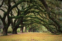 mossy trees like the ones in New Orleans at Oak Alley. Beautiful place for a romantic picnic