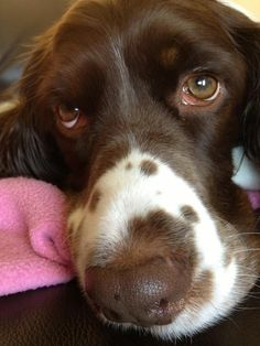 Springers are one of the most gorgeous dogs around