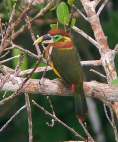 saripoca-de-gould ou tucaninho-da-serra_Selenidera gouldii_Brazilian Birds