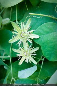 30 Edible Native Plants Texas Ideas Native Plants Plants Edible