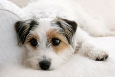 Jack Russell dog photo print. $20.00, via Etsy.