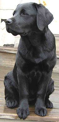 Love labs.  This appears to be young dog.  He seems very well formed.