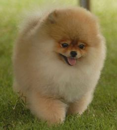 Google Image Result for http://petlittle.com/wp-content/uploads/2011/06/cute-pomeranian-dog-3.jpg