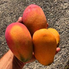Buenos días!!! Esta es la cosecha de hoy. Estamos a punto!!! #mangos #mangosdelcielo #sinfiltro #motril #costatropical ##5aldia #comefrutas