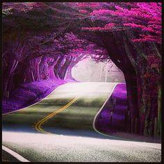 Purple canopy of trees