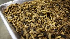"""Cooked, dehydrated larvae of the black soldier fly can be processed into feed for fish or pigs."""