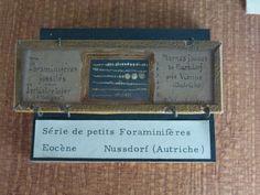 Foraminifères (Forams)  - Muséum National d'Histoire Naturelle