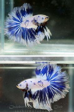 1000 images about betta fish on pinterest betta betta for Betta fish friends