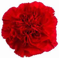 Carnation   Red--