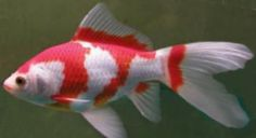 Sarasa Comet with typical red and white markings