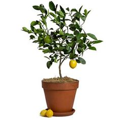 meyer lemon tree and lime tree?  pot in cream, yellow, blue Mediterranean decorative pot-for kitchen!