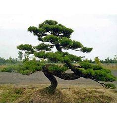 Pinus thunbergii - Japanse zwarte den - Palma Verde Exoten