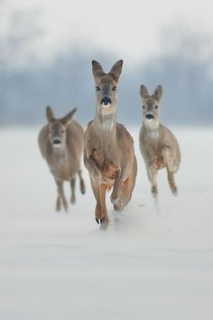I love deer....they are so innocent and sweet...it makes me so sad when I see them run across the road