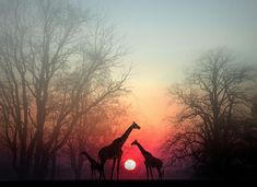 Giraffes at dusk                                                           You in Awe