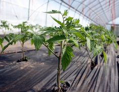 """This article will show you how to grow tomatoes and potatoes on one plant by grafting a tomato plant onto a potato plant. As summer slowly rolls to an end, we often find ourselves with an abundance of tomatos. Many of the fruit remains green and not fully ripened. I typically find myself asking, """"What can I do different next year to get more fruit for my effort?"""" It turns out there is an answer: grafting tomato plants to potatoes. Grafted Plant Diagram (click image to see image source)…"""