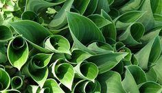 hosta - bladene ligner kræmmerhuse