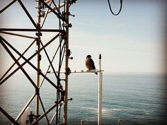 Hawk hanging out with hubby at work today👍🏼🦅drone didn't phase him...#hawk #bigsur #ocean #towerlife #drone #dronestagram #calocals - posted by Melissa https://www.instagram.com/momof5bys - See more of Big Sur, CA at http://bigsurlocals.com