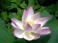 water lilies pictures | Pink Water Lily Image