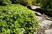 VINTERGLANS: Eviggrønn lav staude som dekker godt.