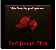 Jonah 7pot Trinidad scorpion plants, The top five hottest pepper in the world!  Pre-order your plants now to make sure you receive them in May.  Free shipping and tracking.