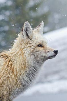 """""""Rainier Red Fox"""" by Rich Leighton"""