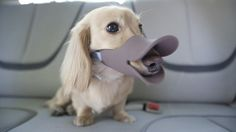 quack' by japanese designer pet supplies company oppo is the perfect accessory to embarrass your dog. shaped like a duck's bill, the muzzle sits on   the dog's snout to transform your canine friend into the perfect entertainment, as well as the bonus of being safe around other dogs and people.