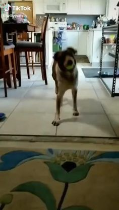 Cute Funny Animals, Cute Baby Animals, Funny Dogs, Animals And Pets, Cute Animal Videos, Funny Animal Pictures, Cute Puppies, Cute Dogs, Scottish Fold