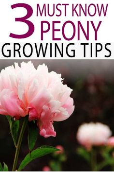 Garden Landscaping Design Grow peonies successfully with these tips!Garden Landscaping Design Grow peonies successfully with these tips!